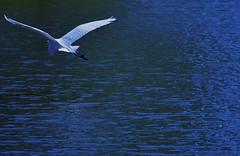On Final Approach (MPnormaleye) Tags: blue water ecology beautiful birds animals amazing pond wildlife flight parks lagoon calm utata animalplanet birder beasts preservation