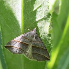 Colobochyla salicalis (2) (saracenovero) Tags: lepidoptera moths noctuidae 2013 mazeikiai colobochylasalicalis mothsoflithuania