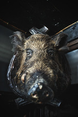 not so wild anymore (abonamous) Tags: stuffed sony a7 wildboar ilce7