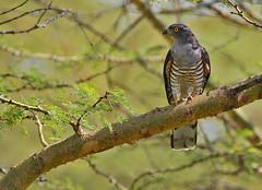 African Cuckoo-hawk (Rainbirder) Tags: kenya ngc lakenakuru avicedacuculoides africancuckoohawk rainbirder