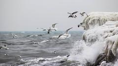 Flying in the same direction (Infomastern) Tags: sea seagulls ice water birds canon flying is wings gulls flock direction vatten stersjn fglar smygehuk 100fav 10kviews flyger msar riktning fotosondag fs140202