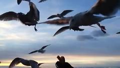 Slo-Mo Seagulls (H McCann) Tags: ocean sea sky bird birds sunrise island bc pacific britishcolumbia seagull gull victoria vancouverisland ciel pacificocean cielo slomo oiseau gabbiani gabbiano mouette oiseaux leverdesoleil slowmotion yyj cloverpoint columbiebrittanique