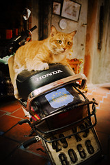 How did I get here? (simontheintrepid) Tags: animal cat honda ginger cafe crossprocessed vietnam hoian riding moped vignette d60