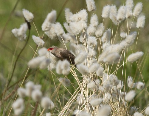 Common Waxbill in grass plumes _0261