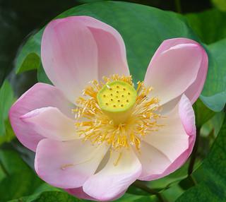 Lotus Flower (Nelumbo nucifera; Synonyme: Nelumbium speciosum Willd., Nymphaea nelumbo)
