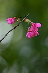Prunus campanulata in Taiwan (photor432) Tags: flower taiwan  cherryblossom sakura prunus  csh kirschblte   campanulata krsbrsblom kersenbloesem flordecerejeira  prunuscampanulata   fioridiciliegio   flordecerezo fleurdecerisier hoaanho bungasakura     cshblack432 cherrybunga