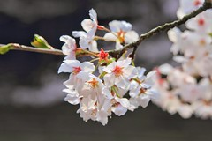 Last Cherry Blossoms (Nori's Photos) Tags: pink flower cherry spring blossoms 桜