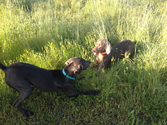 """Benelli & Juno playtime • <a style=""""font-size:0.8em;"""" href=""""http://www.flickr.com/photos/66999112@N00/13907381893/"""" target=""""_blank"""">View on Flickr</a>"""
