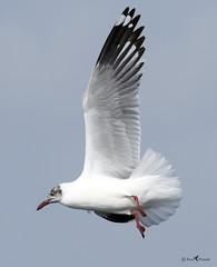 Brown headed gull (arunprasad.shots) Tags: gull shorebirds pulicat tamilnadu indianbirds birdsofindia birding flying brownheadedgull nikon d500 2017