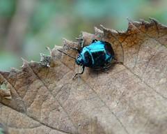 Blue again! (rockwolf) Tags: zicronacaerulea blueshieldbug pentatomidae asopinae hemiptera heteroptera punaise insect wollertonwetlands shropshire rockwolf