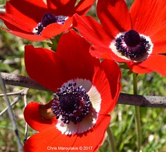 Red poppies 4u (Chris Maroulakis) Tags: red poppies flower lavrion nikond7000 nikkor1224 chris maroulakis 2017