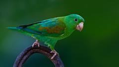 Orange-chinned Parrakeet (Eric Gofreed) Tags: canopytower orangechinnedparrakeet panama