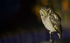 Megascops choliba - Tropical Screech-Owl - Autillo Chóliba - Currucutú 14 (jjarango) Tags: avesdecolombia aves avistamiento birding birdingcolombia birdwatching birdsofcolombia megascopscholiba tropicalscreechowl autillochóliba currucutú