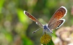 Western Pygmy-Blue (Brephidium exilis) (J.Thomas.Barnes) Tags: