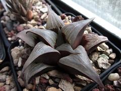 Haworthia emelyae var. badia, MBB6635, NW Napier, TL