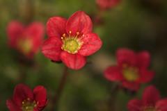 A Kiss (shawn›raisin d+p) Tags: 100mm canon6d macro pinksaxifrage plant purplerobe saxifragaxarendsii shawnwhite alpine beauty bokeh charm flash flower joy pink romantic