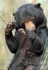 sunbear Ouwehands BB2A2271 (j.a.kok) Tags: beer bear maleisebeer mammal sunbear honingbeer honeybear malayan maleisie asia azie zoogdier ouwehands ouwehandsdierenpark