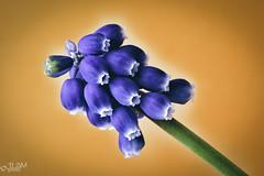 Grape Hyacinth (JLDMphoto) Tags: macromondays orangeandblue orange blue grape hyacinth spring flowers muscari nikon d7200 tokina m100 tokina100mmf28atxprod macro