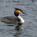 Great crested grebe 2017-04-01_1