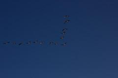 IMG_9190 (EJ Bergin) Tags: burtonmillpond westsussex trees countryside landscape pond birds vformation