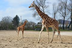 Rothschild's Giraffe (Giraffa camelopardalis rothschildi) (Seventh Heaven Photography - (Fauna)) Tags: giraffe animal giraffa camelopardalis rothschildi mammal murchison chester zoo cheshire rothschilds nikond3200 baby calf male kidepo