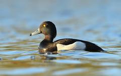 2-DSC_3204 (garethhardwick72) Tags: tufted duck