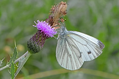 Pieris napi - the Green-veined White (BugsAlive) Tags: butterfly butterflies mariposa papillon farfalla schmetterling бабочка animal outdoor insects insect lepidoptera macro nature pieridae pierisnapi greenveinedwhite rapsweisling rapssommerfugl blancaverdinervada piéridedunavet navoncella pierinae wildlife dorset alnersgorse liveinsects uk