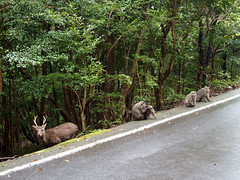 Cerfs et macaques de Yakushima (emmrichard) Tags: animaux mammifères natureetpaysage daim macaquejaponais singe yakushima kyushu japon