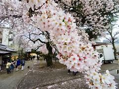 IMGP5717 (digitalbear) Tags: pentax q7 08widezoom 17528mm f374 nakano doori sakura cherry blossom blooming full bloom tokyo japan araiyakushi arai yakushi baishoin