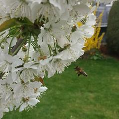 Bees do it (martini_bianca) Tags: sakura kirschen kirschblüte kirschblüten blüten baum frühling biene weis martinibianca