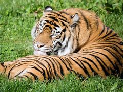 Grooming (Howie Mudge LRPS BPE1*) Tags: tiger animal wildstripedlyingrestrestinglicklickinggroomingoutsideoutdoorstraveltravellingtravellerchestercheshireenglandukchester zoozoowildlifenaturengcpanasonic dmcg80micro four thirdsmftm43compact system cameramirrorless camera