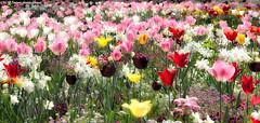 Le printemps des tulipes (photos.osmose) Tags: ambiance art zen zenarbresparcboisbonsaïcampagne évasion rêverie saisons fleurs forêtexpressioncouleursarbrescampagnebordsducanalombre floral jardins jardin couleurs ballade nature tulipes