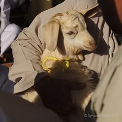 Nizwa, the goat souk (Sylviane Moss) Tags: oman nizwa suk goat cattle souk market souq