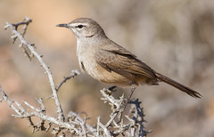 Karoo Scrub Robin (Cercotrichas coryphoeus) (George Wilkinson) Tags: karoo scrub robin cercotrichascoryphoeus goegap nature reserve northern cape south africa canon 7d 400mm wildlife bird