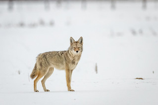 Coyote (Expored)