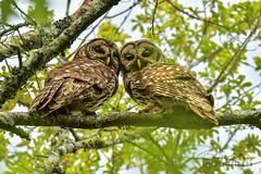 Barred Owls (Brad Lackey) Tags: barredowl owl raptor matingpair inthewild tree sky wildlife talons nature haysnaturepreserve huntsville alabama tamron15000mm d7200