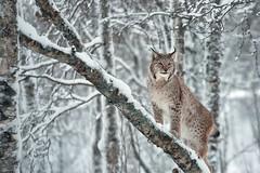 RED_1251 (Red Baron 3) Tags: norvegia artico lince polarpark nikond750 enricobarbini forestainnevata snowandwood