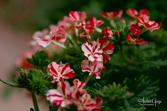 Red & White Striped Verbena - looks like a peppermint candy (Andrea Garza ~) Tags: verbena superbena floral plant flower flowers garden gardening macro canon peppermint christmas christmasplant christmasflower valentines valentine