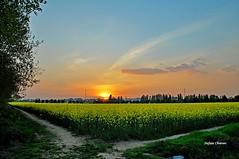 Bivio di campagna (stefano.chiarato) Tags: campagna campi giallo colza tramonto sole sunset lombardia italy primavera
