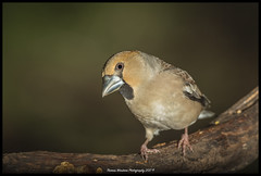 Hawfinch (Thomas Winstone) Tags: canonuk canon 300mm28mk2 birds aves uk bird outdoors wildlife nature wildbirds countryside outdoor avian 3lt 3leggedthing thomaswinstonephotography canon300mmf28 parkend england unitedkingdom gb canon1dx canon1dxmark2 hawfinch forestofdean forestrycommission forest woodland woodlands coccothraustescoccothraustes