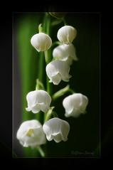 Maiglöckchen (zu Ostern ....) (ΞLLΞ∩) Tags: maiglöckchen lilyofthevalley liliesofthevalley convallariamajalis erinnerungen memories ingedenkenan tantechristel