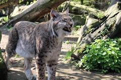 Duisburg Zoo (Eichental) Tags: duisburg luchs ruhrgebiet zoo