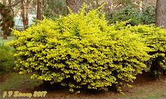 DSC01373rsz tag (orgasmictomato) Tags: shrub plant yellow gold garden duranta goldenduranta sheenasgoldenduranta mygarden australia
