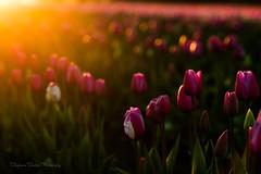 Last Hurrah (Stephanie Sinclair) Tags: skagitvalley seattleempress stephaniesinclairphotography tulips bokeh nikon zeiss flowers spring pnw washingtonstate