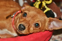 ~~ Ma toute petite , vraiment toute petite Lili...~~ (Joélisa) Tags: lili chien dog perro chihuahua mars2017 portrait fabuleuse