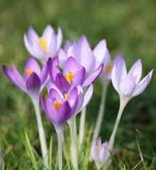 spring approaching (bugman11) Tags: spring flower flowers flora crocus krokus petals canon 100mm28lmacro nederland thenetherlands nature haarlem macro 1001nightsmagiccity 1001nights platinumheartaward thegalaxy infinitexposure