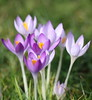 spring approaching (bugman11) Tags: spring flower flowers flora crocus krokus petals canon 100mm28lmacro nederland thenetherlands nature haarlem macro 1001nightsmagiccity 1001nights platinumheartaward thegalaxy infinitexposure ruby5 ruby10