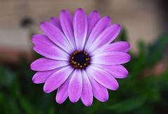 Smoothness (Pensive glance) Tags: daisy marguerite flower fleur plant plante