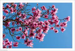 Magnolia Time 72/365 (John Penberthy ARPS) Tags: 13mar17 365the2017edition 3652017 d750 day72365 flowersandplants johnpenberthy kew kewgardens nikon magnolia pink sky