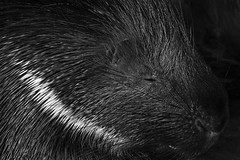 Stachelschwein (Michael Döring) Tags: gelsenkirchen bismarck zoomerlebniswelt zoo stachelschwein tc14eii afs200500mm56e d7200 michaeldöring